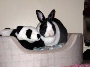 Daily_bunny_pandabunny