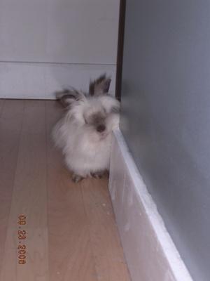 Daily_bunny_hallpuff