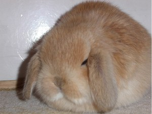 Daily_bunny_puffball