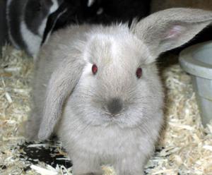 Daily_bunny_cockeared_bunny