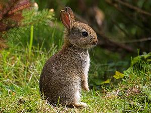Daily_bunny_englishbunny