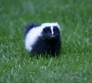 Field_skunk